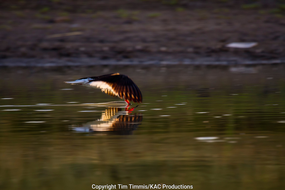 Black Skimmer, Rynchops niger, Bryan Beach, Texas gulf coast, skimming with beak in water, splashing water, reflection, back lighting