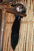 Madagascar, Captive Aye-Aye Lemur (Daubentonia madagascariensis)