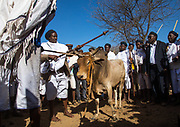 DROUGHT IN ETHIOPIA<br /> <br /> The Borana tribe, part of Oromo people who make up around a third of the Ethiopian population, is suffering from drought for months. Cows are dying, meanwhile many people are complaining the lack of support from the government, thus generating massive uprisings, repressions and killing hundreds of protesters.<br />  Borana live in Kenya, Ethiopia and Somalia with a population of 500,000. They are semi pastoralists. Their life depends on their livestock, which are their only wealth. Their cattle are used in sacrifices and also as dowry or to pay legal fines. For one year, there has been no rain and more than 15,000 cows have died in Ethiopia.<br /> <br /> Photo shows:  Kura Jarso is blessing the bull to be sacrificed as celebration of his new power. Even though many Borana are christians and muslims, many still believe in Wakefata, their traditional God, who can bring back the rain.<br /> ©Eric lafforgue/Exclusivepix Media