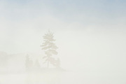 White pine tree in fog at sunrise<br /> Silent Lake Provincial Park<br /> Ontario<br /> Canada