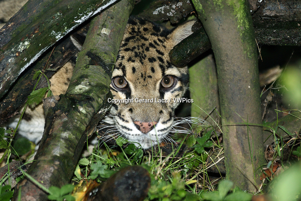 Clouded Leopard, neofelis nebulosa, Adult camouflaged behing Tree