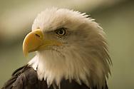 American bald eagle staring.