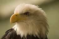 American bald eagle staring.