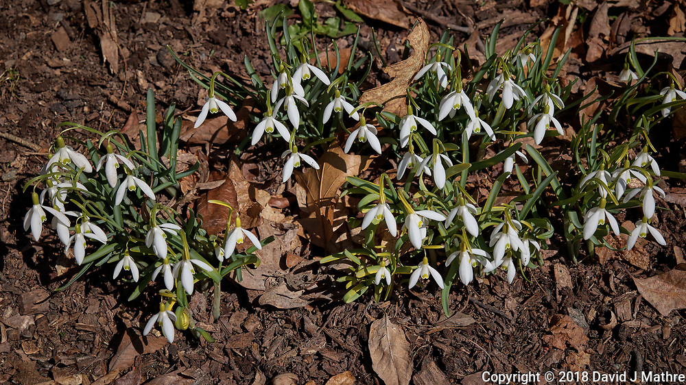 Early Spring Snow Drops. Image taken with a Leica CL camera and 18-56 mm lens