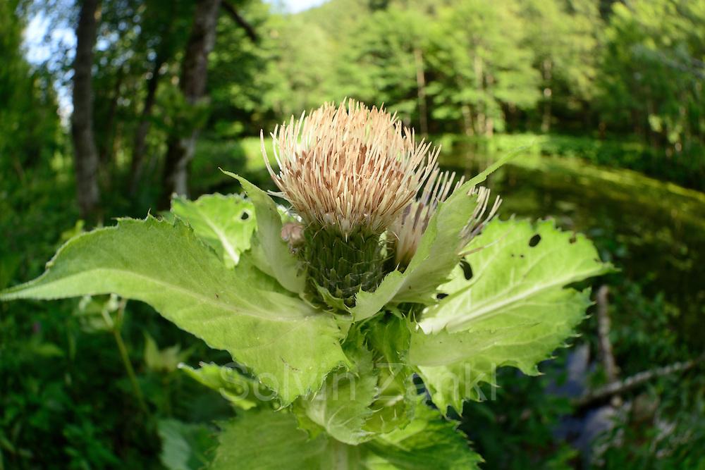 Supf-Kohldistel (Cirsium oleraceum)
