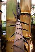 Belo Horizonte_MG, Brasil...Bambus no Jardim Botanico de Belo Horizonte. Na foto detalhe de bambu...Bamboos in the Botanical garden in Belo Horizonte. In this photo, detail of bamboos...Foto: LEO DRUMOND / NITRO