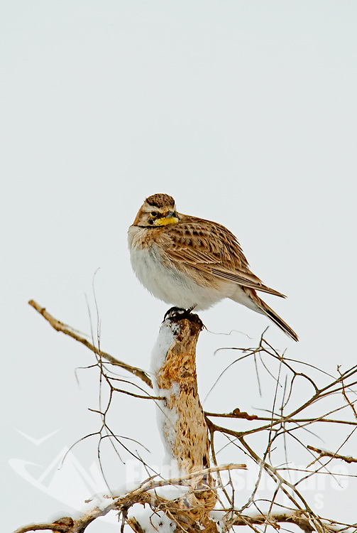 A Horned Lark sits on the bottom of tumbleweed on a windy snow day in Utah.