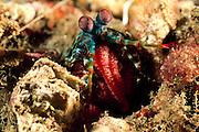 Zwischen den vorderen Extremitäten trägt dieser Bunte Fangschreckenkrebs (Odontodactylus scyllarus) seine Eier. Räuber haben kaum Chancen, dem Krebs sein Gelege abspenstig zu machen. | Peacock mantis shrimp (Odontodactylus scyllarus)