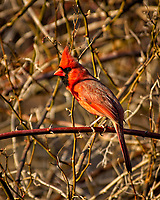 Northern Northern Red Cardinal in the afternoon sun. Backyard winter nature in New Jersey. Image taken with a Nikon D2xs camera and 80-400 mm VR lens (ISO 200, 400 mm, f/5.6, 1/320 sec).