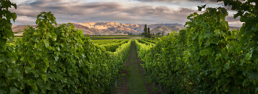 Looking down a grapevine row towards the dry Marlborough hills  at Brancott Estate Vineyard. Marlborough, New Zealand.