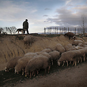 Shepherd with lamb in Boadilla del Camino. Tierra de Campos. Palencia province. Spain . The WAY OF SAINT JAMES or CAMINO DE SANTIAGO following the French Route, between Saint Jean Pied de Port and Santiago de Compostela in Galicia, SPAIN. Tradition says that the body and head of St. James, after his execution circa. 44 AD, was taken by boat from Jerusalem to Santiago de Compostela. The Cathedral built to keep the remains has long been regarded as important as Rome and Jerusalem in terms of Christian religious significance, a site worthy to be a pilgrimage destination for over a thousand years. In addition to people undertaking a religious pilgrimage, there are many travellers and hikers who nowadays walk the route for non-religious reasons: travel, sport, or simply the challenge of weeks of walking in a foreign land. In Spain there are many different paths to reach Santiago. The three main ones are the French, the Silver and the Coastal or Northern Way. The pilgrimage was named one of UNESCO's World Heritage Sites in 1993. When there is a Holy Compostellan Year (whenever July 25 falls on a Sunday; the next will be 2010) the Galician government's Xacobeo tourism campaign is unleashed once more. Last Compostellan year was 2004 and the number of pilgrims increased to almost 200.000 people.