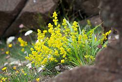 Lady's Bedstraw growing on cliffs at The Lizard Peninsula, Cornwall. Galium verum