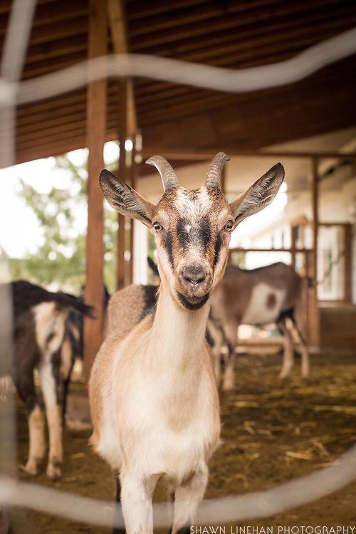 Organicology 2015 farm tour to Fraga Farm Goat Cheese