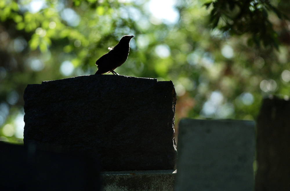 EDMONTON, AB -June 29, 2008-  A crow, with blue eyes perches on a headstone at Mt Pleasant Cemetery in Edmonton on June 29.  Photo by Daniel Hayduk/
