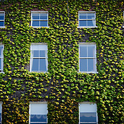 An old georgian building in Dublin, covered with Ivy.