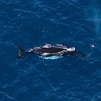 Une baleine à bosse dans les eaux guadeloupéennes.