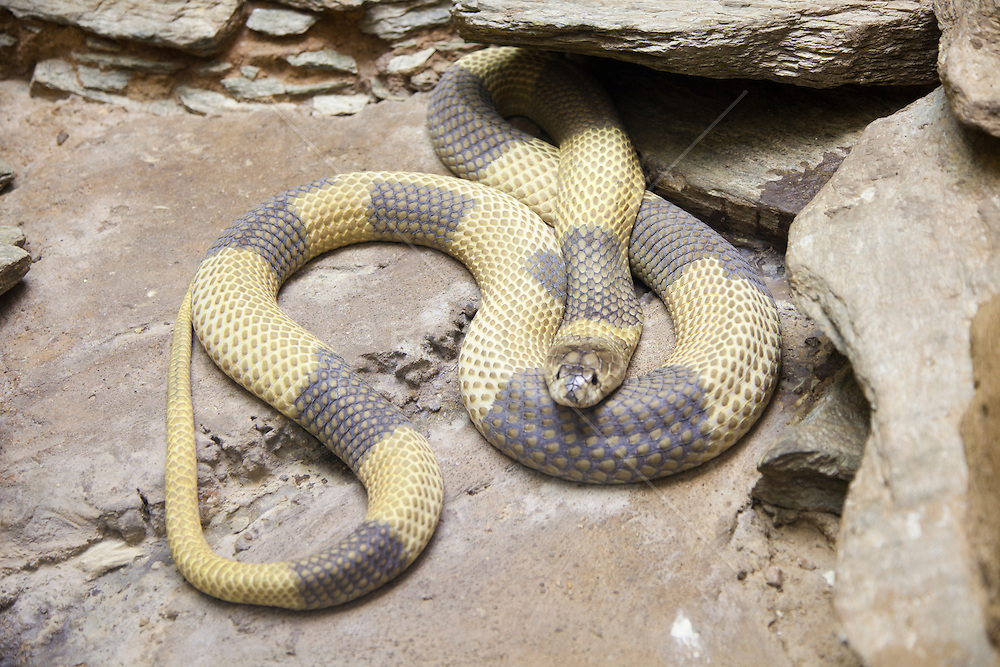 very colorful stripped snake on rocks