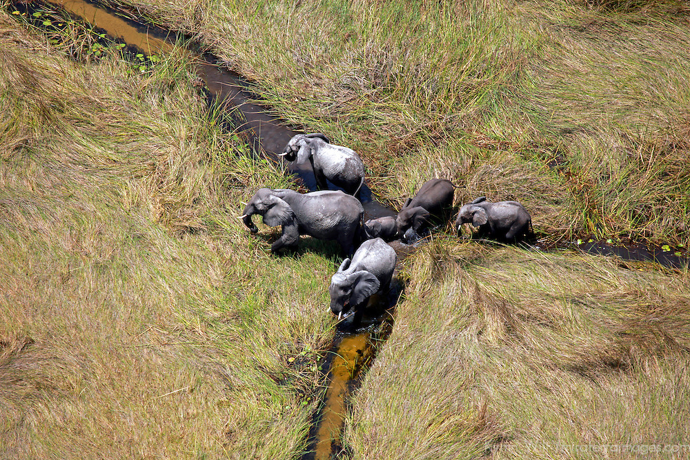 Africa, Botswana, Okavango Delta. Aerial view by helicopter safari of elephants in the Okavango Delta.