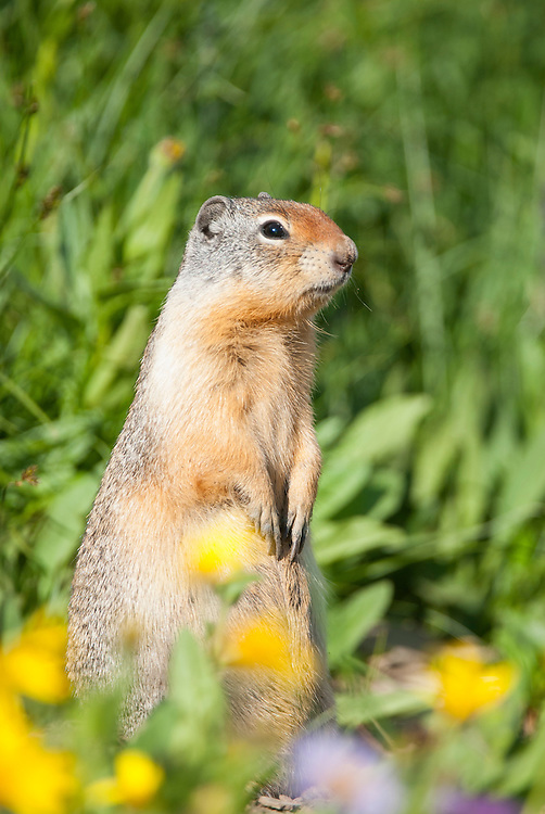 Columbian Ground Squirrel (Urocitellus columbianus),  Glacier National Park, Montana