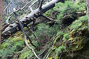 umgestürzter Baum, Baumpilze, Herbst Wald bei Hinterhermsdorf, Sächsische Schweiz, Elbsandsteingebirge, Sachsen, Deutschland | mushrooms on tree, autumn forest near Hinterhermsdorf, Saxon Switzerland, Saxony, Germany