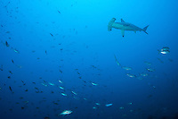 Reef fish scurry to avoid an approaching Scalloped Hammerhead Shark<br /> <br /> <br /> Shot at Cocos Island, Costa Rica