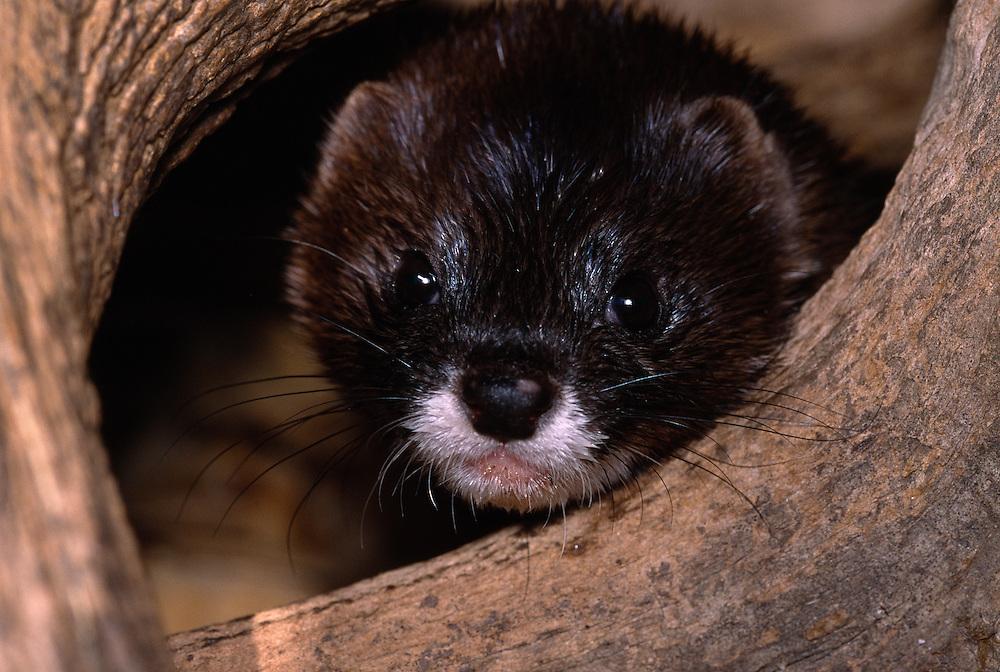 Male European mink