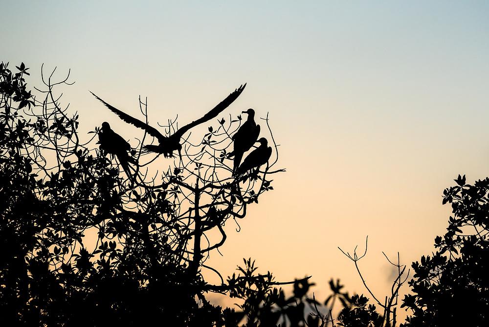Frigatebirds and mangrove trees at sunrise, San Cristobal Island, Galapagos Islands, Ecuador.