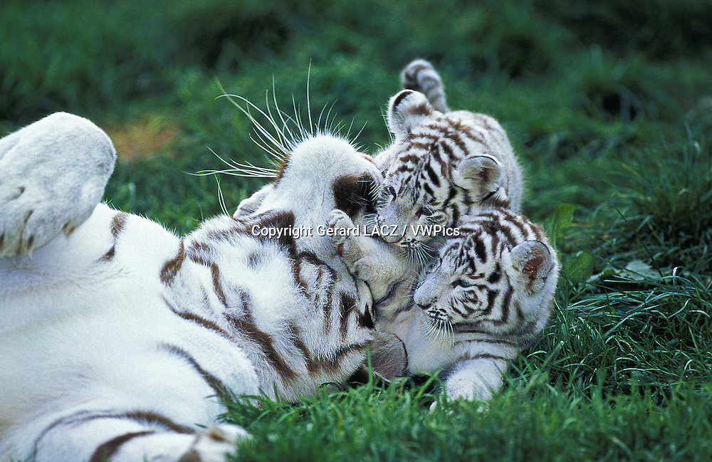 White Tiger,  panthera tigris, Mother and Cub