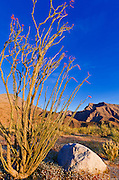 Morning light on ocotillo under Indianhead Peak, Anza-Borrego Desert State Park, California USA