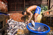 13 JUNE 2013 - YANGON, MYANMAR:  A worker sorts fish in the Annawa Fish Market. The Annawa Fish Market in Yangon is one of the largest fish markets in Myanmar. It serves as both a wholesale and retail market and serves both exporters and domestic customers. With thousands of miles of riverine waterways and ocean coastline Myanmar has a large seafood and fishing industry.   PHOTO BY JACK KURTZ