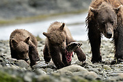 A brown bear sow known as Bearded Lady watches as her cubs feed on salmon at the McNeil River State Game Sanctuary on the Kenai Peninsula, Alaska. The remote site is accessed only with a special permit and is the world's largest seasonal population of brown bears in their natural environment.
