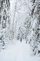 Snowy forest with female cross country skier Mt Baker National Forest Washington USA.