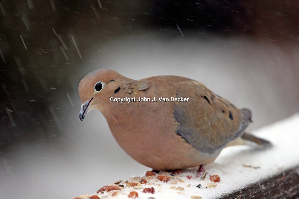 Mourning Dove, Zenaida macroura, feeding during snow storm