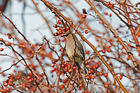 A Cedar Waxwing surrounded by the berries of a rose bush.