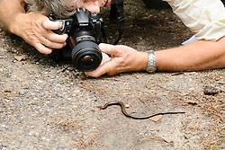 Hazelworm, Anguis fragilis