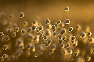 Harestail cotton-grass Eriophorum vaginatum, backlit in late evening light, Scotland