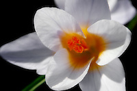 Close-up of a beautiful white spring crocus.