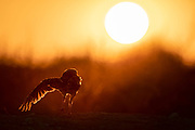 A burrowing owl stretches in the setting sun.