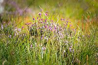 Heather in a field in Scotland