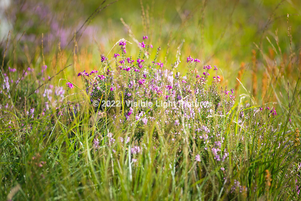 Heather in a field in Scotland