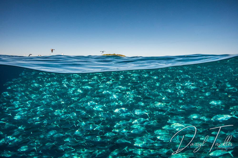 Over under shot of trevally fish feeding near the surface: Pseudocaranx georgianus.  Mokohinau islands.  Hauraki Gulf. New Zealand