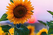 Closeup of a sunflower plant