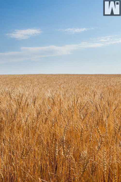 Mature wheat ready for harvest in southeastern Wyoming.
