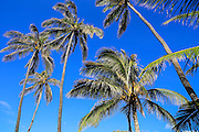 Coconut palm Tree, Island of Hawaii