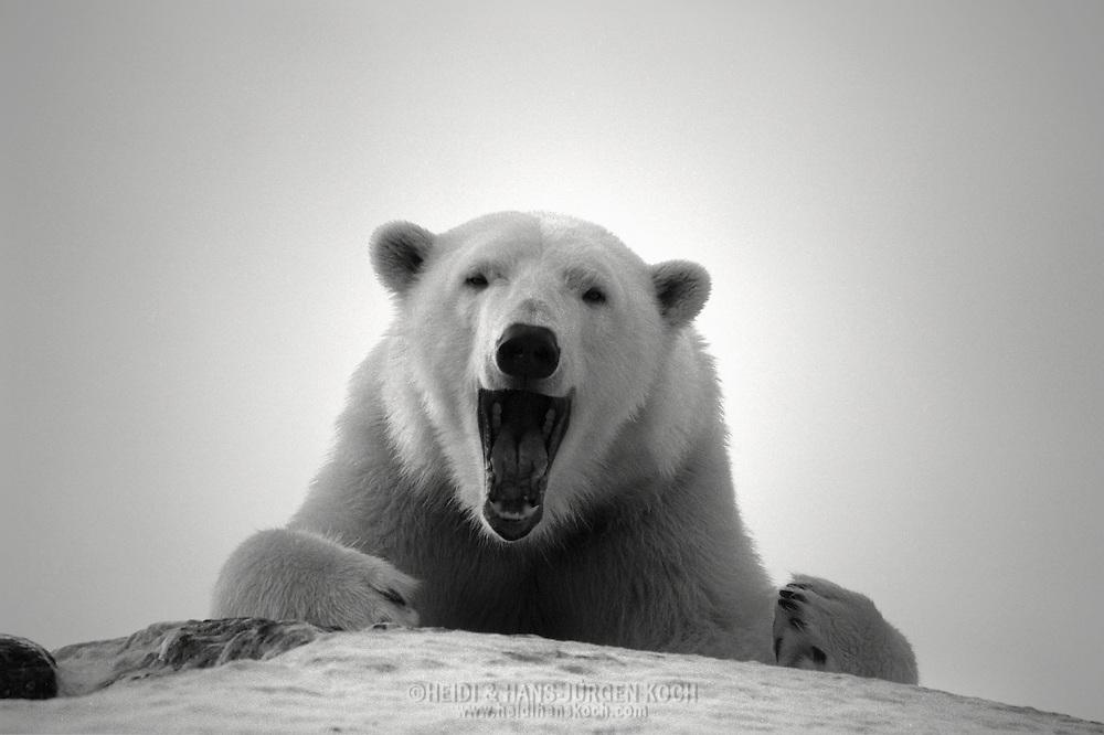 Schweden, SWE, Kolmarden, 2000: Ein Eisbaer (Ursus maritimus) liegt auf dem schneebedeckten Gipfel eines Huegels und gaehnt, Kolmardens Djurpark. | Sweden, SWE, Kolmarden, 2000: Polar bear, Ursus maritimus, laying on top of a snow covered hill, yawning, Kolmardens Djurpark. |