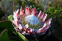 King Protea, Heuningberg Nature Reserve, Bredasdorp, South Africa