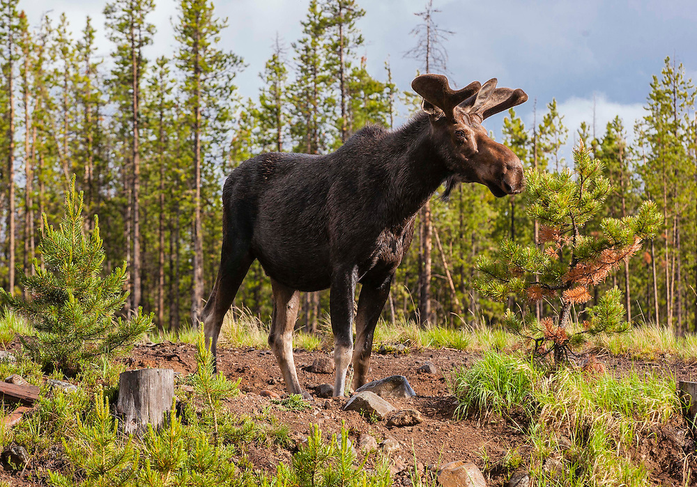A young moose surveys the hillside after emerging from the forrest on a rainy summer day in Connor's Camp, Montana.