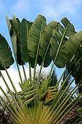 Traveler's Palm, Hilo, Island of Hawaii