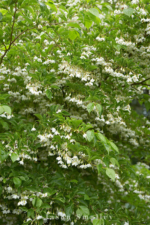 flowers of Japanese Snowbell. Cypress House. Dalton