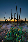 A cluster of pancake prickly pear cacti (Opuntia chlorotica) in the foreground grow with several other cacti at the base of tall saguaros (Carnegiea gigantea) at dusk in Saguaro National Park near Tucson, Arizona.